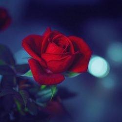 Poesia: Rosa di notte